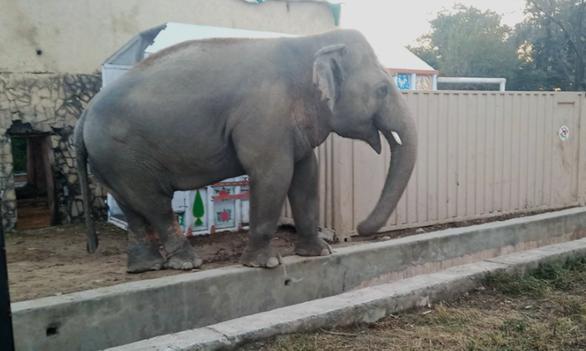Chú voi cô đơn nhất thế giới đến nhà mới ở Campuchia - Ảnh 2.