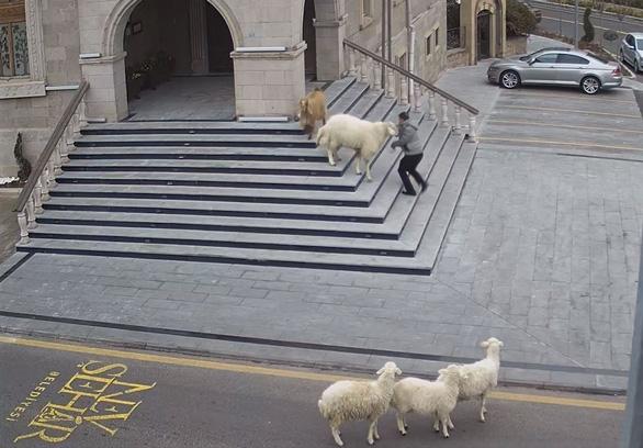 Video vui: 4 con cừu, 1 con dê vô trung tâm thành phố rượt người dân chạy có cờ - Ảnh 2.