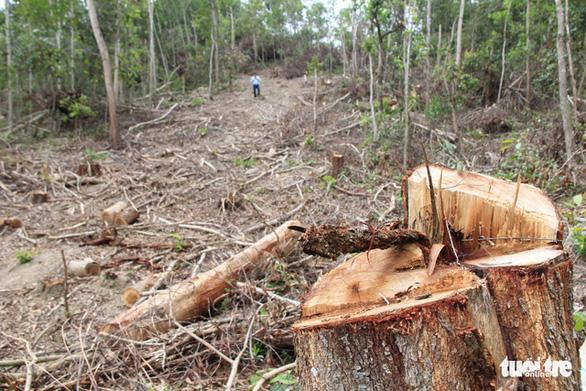 Bắt giám đốc công ty lâm nghiệp thiếu trách nhiệm để mất rừng tràn lan - Ảnh 2.