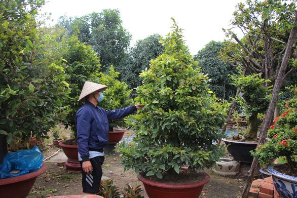 Thời tiết mưa gió thất thường, dân trồng mai tết phập phồng - Ảnh 1.