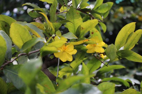 Thời tiết mưa gió thất thường, dân trồng mai tết phập phồng - Ảnh 2.