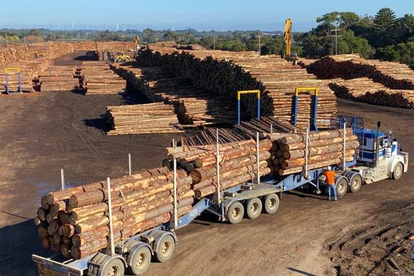 Trung Quốc ngừng nhập khẩu gỗ từ Úc vì sâu bệnh - Ảnh 1.