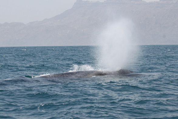 Lần theo giọng hát lạ dưới đại dương, bất ngờ gặp bầy cá voi xanh ở ẩn - Ảnh 2.