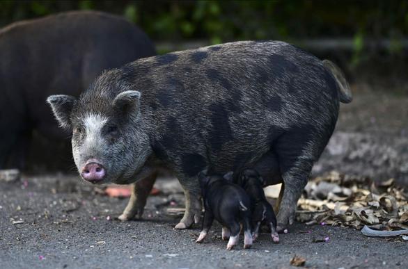Lợn ỉ Việt Nam làm loạn ở lãnh thổ Mỹ - Ảnh 3.