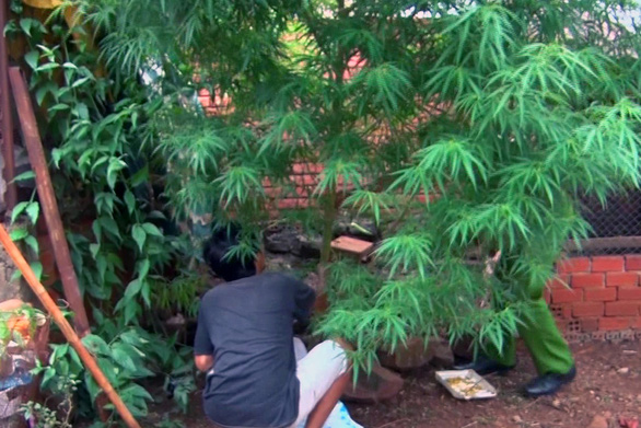 Phát hiện cây nghi là cần sa kích thước khủng trong vườn nhà dân - Ảnh 1.