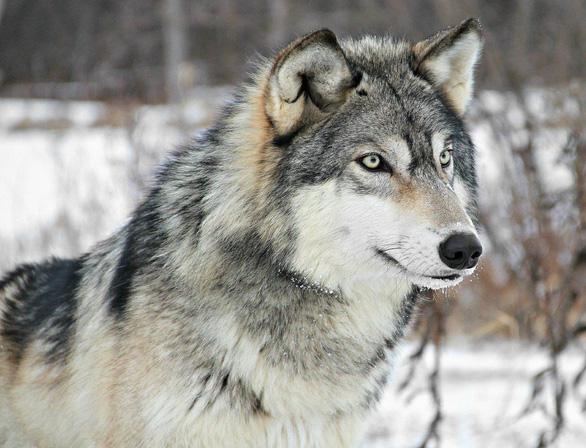 Cái kết đau lòng của con sói 'cô đơn nhất thế giới' - Ảnh 2.