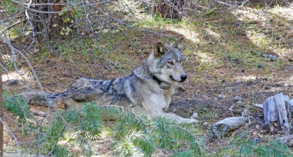 Cái kết đau lòng của con sói 'cô đơn nhất thế giới' - Ảnh 1.
