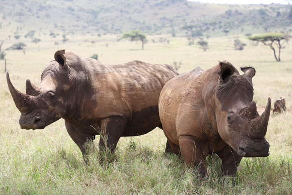 Vi khuẩn kháng thuốc đe dọa sự sống của loài tê giác châu Phi - Ảnh 1.