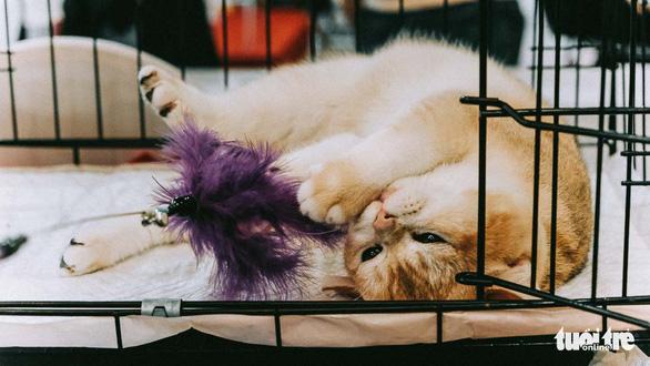 Cuộc thi sắc đẹp của những bé mèo đẹp nhất - Ảnh 4.