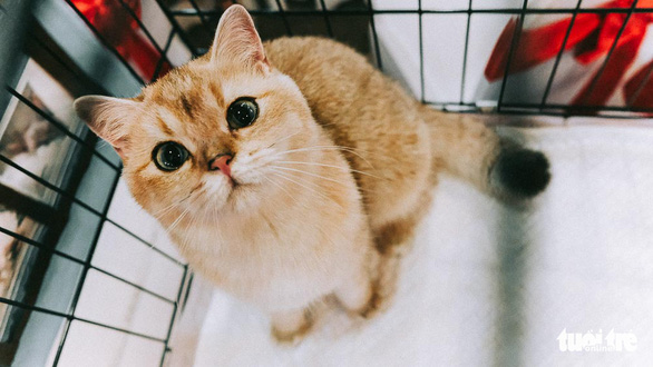 Cuộc thi sắc đẹp của những bé mèo đẹp nhất - Ảnh 3.