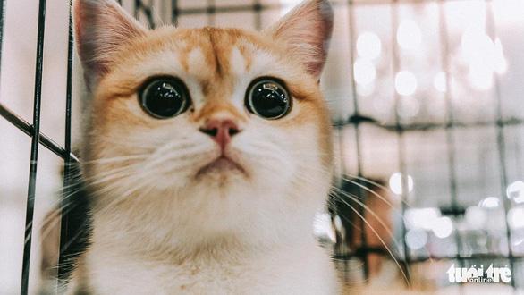 Cuộc thi sắc đẹp của những bé mèo đẹp nhất - Ảnh 1.