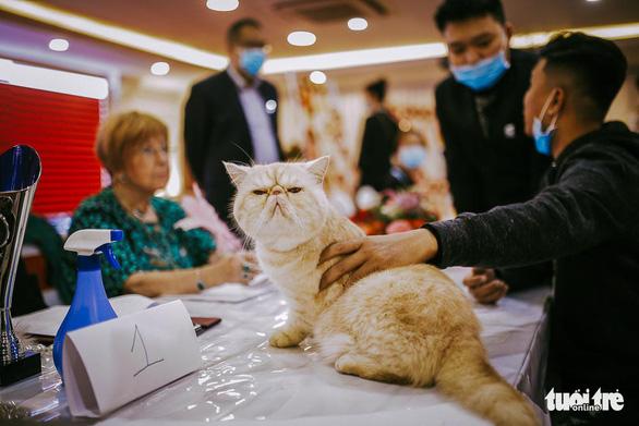 Cuộc thi sắc đẹp của những bé mèo đẹp nhất - Ảnh 6.