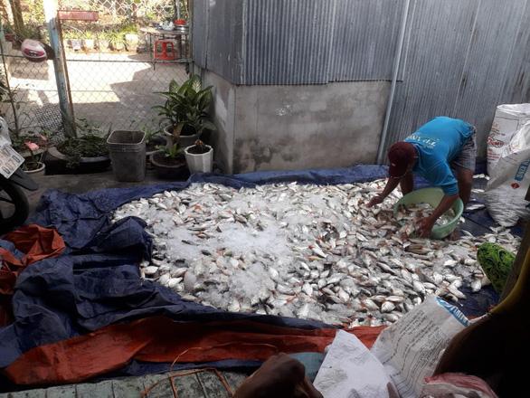 Hàng chục tấn cá bè trên sông Cái Vừng tiếp tục chết do thiếu oxy - Ảnh 1.