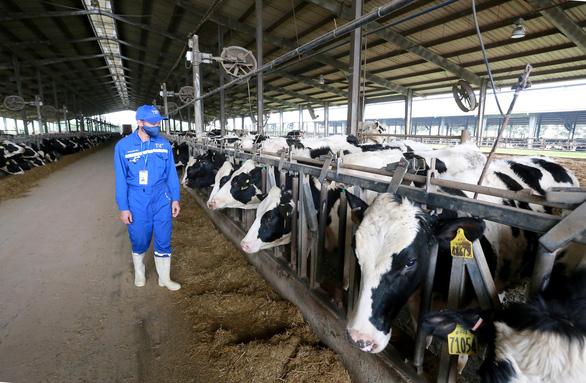 Nhập 4.500 con bò sữa cao sản HF từ Mỹ - Ảnh 4.