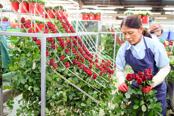 Vùng hoa hồng Đà Lạt thấp thỏm chờ lễ 8-3 - Ảnh 1.