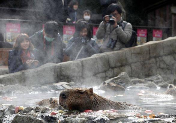 Đến Nhật xem chuột capybara tắm nước nóng - Ảnh 1.