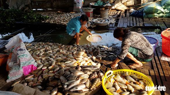 Hàng chục tấn cá nuôi trên sông Cái Vừng lại chết vì thiếu oxy - Ảnh 1.