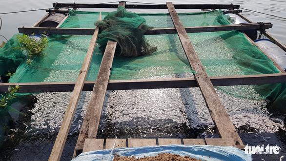 Hàng chục tấn cá nuôi trên sông Cái Vừng lại chết vì thiếu oxy - Ảnh 2.