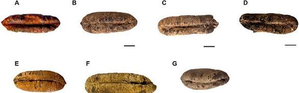 Hạt chà là 2.000 năm vẫn nảy mầm bình thường - Ảnh 2.