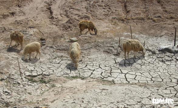 Gia súc ở Ninh Thuận bị đe dọa do thiếu nước trong nắng hạn kéo dài - Ảnh 2.
