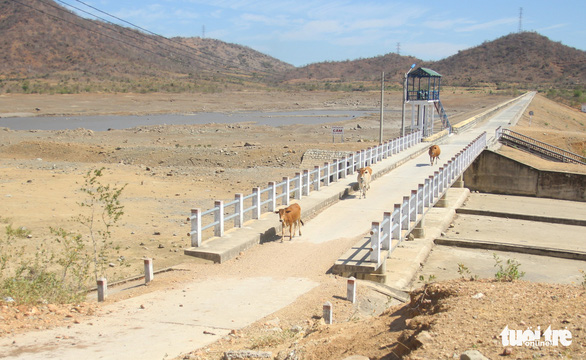 Gia súc ở Ninh Thuận bị đe dọa do thiếu nước trong nắng hạn kéo dài - Ảnh 1.