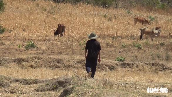 Gia súc ở Ninh Thuận bị đe dọa do thiếu nước trong nắng hạn kéo dài - Ảnh 5.
