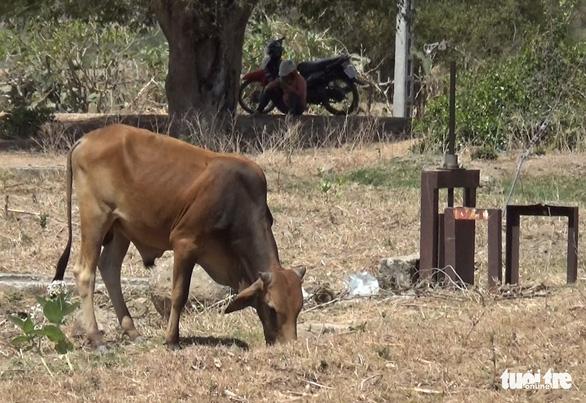 Gia súc ở Ninh Thuận bị đe dọa do thiếu nước trong nắng hạn kéo dài - Ảnh 7.