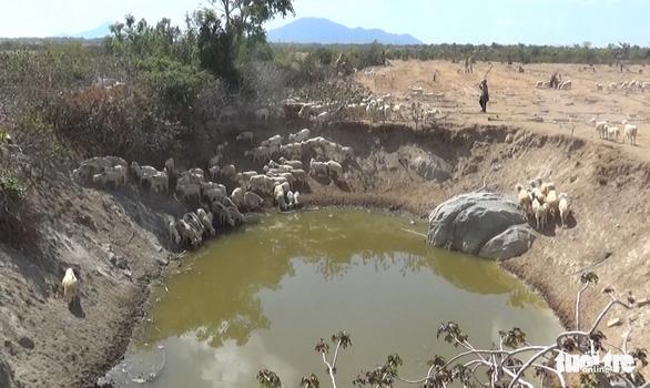 Gia súc ở Ninh Thuận bị đe dọa do thiếu nước trong nắng hạn kéo dài - Ảnh 4.