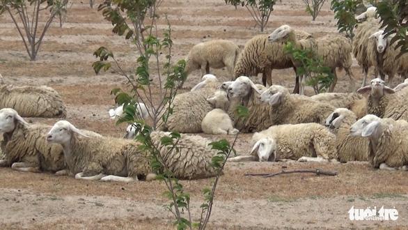 Gia súc ở Ninh Thuận bị đe dọa do thiếu nước trong nắng hạn kéo dài - Ảnh 9.