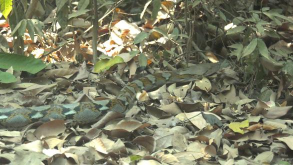 Thả trăn đất quý hiếm về rừng tự nhiên - Ảnh 2.