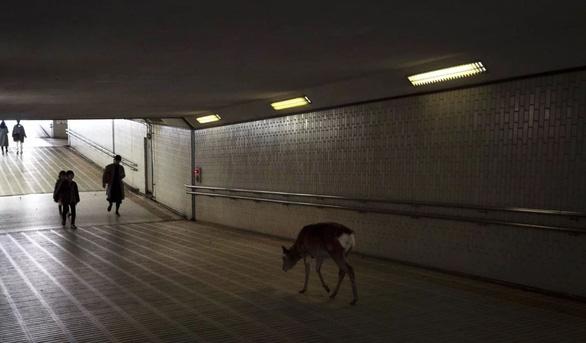 Dịch COVID-19: Người rút vào nhà, báo, cầy, heo rừng mò ra đường phố - Ảnh 2.