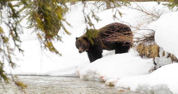 Thời tiết ấm kỷ lục, gấu ngủ đông tỉnh dậy sớm cả 2 tháng - Ảnh 1.