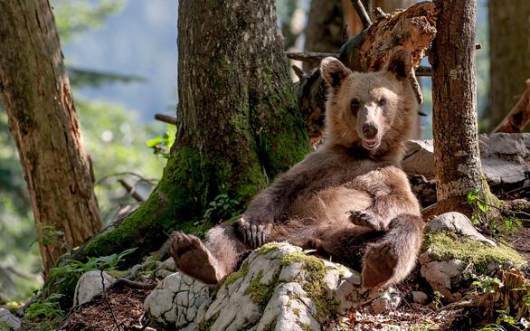 Thời tiết ấm kỷ lục, gấu ngủ đông tỉnh dậy sớm cả 2 tháng - Ảnh 2.