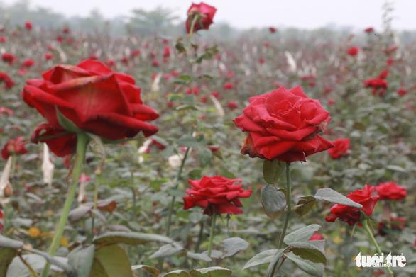Dân Hạ Lôi thất thần nhìn hoa úa trong những ngày cách ly - Ảnh 6.