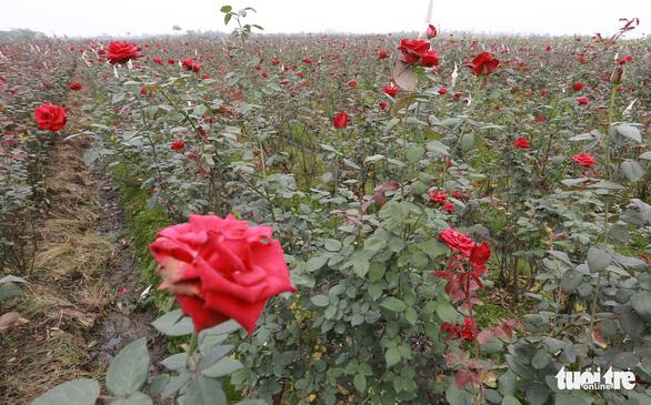 Dân Hạ Lôi thất thần nhìn hoa úa trong những ngày cách ly - Ảnh 5.