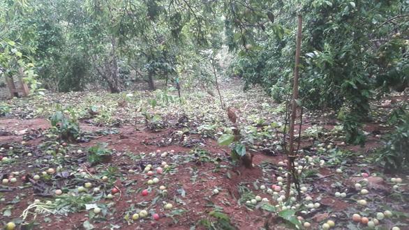 Mưa đá to bằng ngón chân cái khiến vườn mận ở Sơn La rụng tả tơi - Ảnh 2.