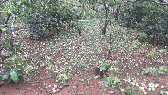 Mưa đá to bằng ngón chân cái khiến vườn mận ở Sơn La rụng tả tơi - Ảnh 3.
