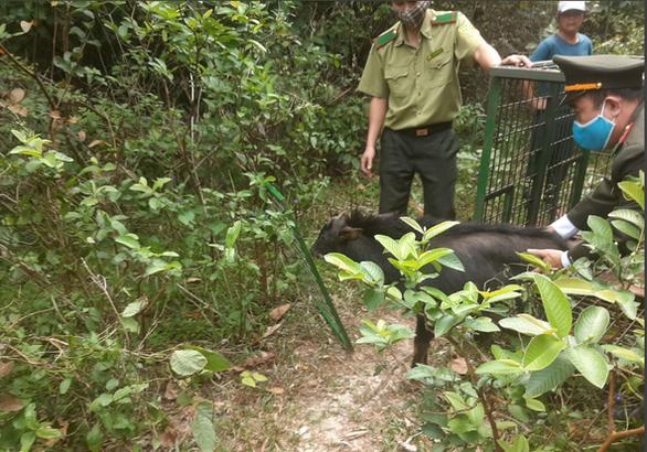 Thả sơn dương quý hiếm nặng 30kg về rừng - Ảnh 1.