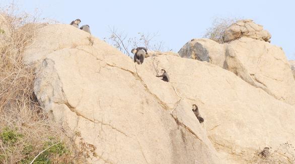 Voọc chà vá chân đen rời núi cao xuống rừng ven biển Ninh Thuận - Ảnh 3.