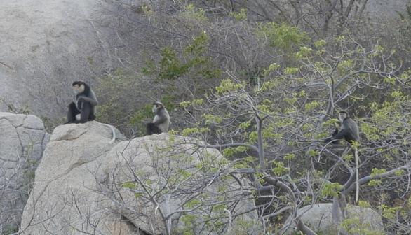 Voọc chà vá chân đen rời núi cao xuống rừng ven biển Ninh Thuận - Ảnh 2.
