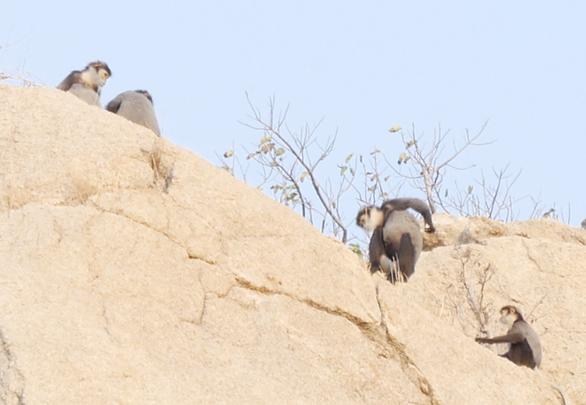Ninh Thuận lập phương án bảo vệ đàn voọc chà vá chân đen - Ảnh 1.