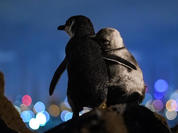 Chim cánh cụt mất bạn đời an ủi nhau khiến dân mạng rưng rưng - Ảnh 1.