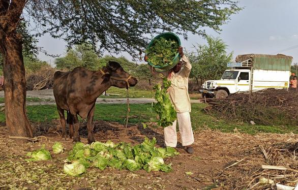 Dâu tây, xà lách phải đổ cho bò ăn vì COVID-19 - Ảnh 2.