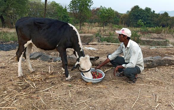 Dâu tây, xà lách phải đổ cho bò ăn vì COVID-19 - Ảnh 1.
