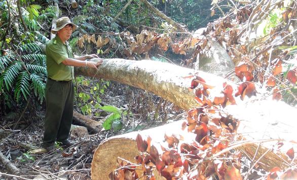 Lâm tặc mở cả cây số đường giữa rừng để đốn gỗ - Ảnh 4.