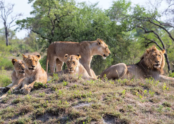 Bắt lại được 7 con sư tử lớn xổng chuồng - Ảnh 1.
