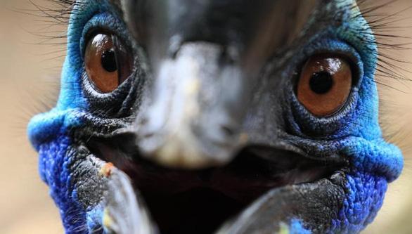 Loài chim nguy hiểm nhất thế giới, hạ gục ngựa, bò trong chớp mắt - Ảnh 3.