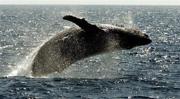 Tưởng đã tuyệt chủng, cá voi lưng gù hồi sinh ngoạn mục - Ảnh 2.