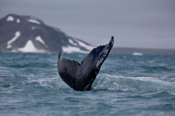 Tưởng đã tuyệt chủng, cá voi lưng gù hồi sinh ngoạn mục - Ảnh 3.