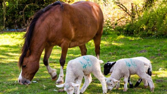 Ngựa nuôi 3 con cừu mồ côi - Ảnh 1.